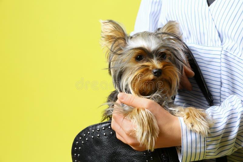 Donna con borsa nera con Adorable Yorkshire terrier sullo sfondo, spazio per testo Cane canino fotografia stock libera da diritti