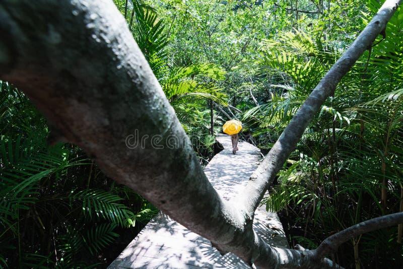 Donna con l'ombrello giallo che cammina attraverso la foresta della mangrovia nella provincia di Krabi, Tailandia fotografia stock