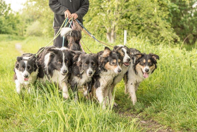 Donna con molti cani su un guinzaglio Molte collie del boerder fotografie stock