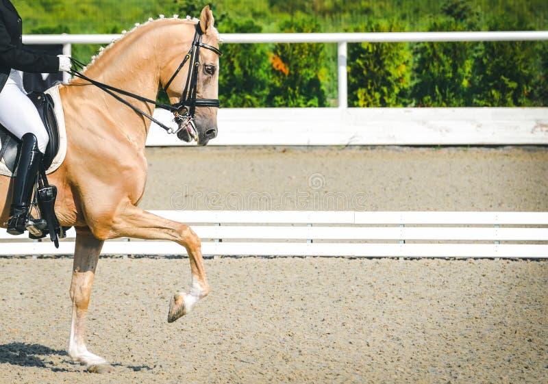 Donna del cavaliere e cavallo eleganti dell'acetosa Bella ragazza alla prova avanzata di dressage su concorrenza equestre immagine stock libera da diritti