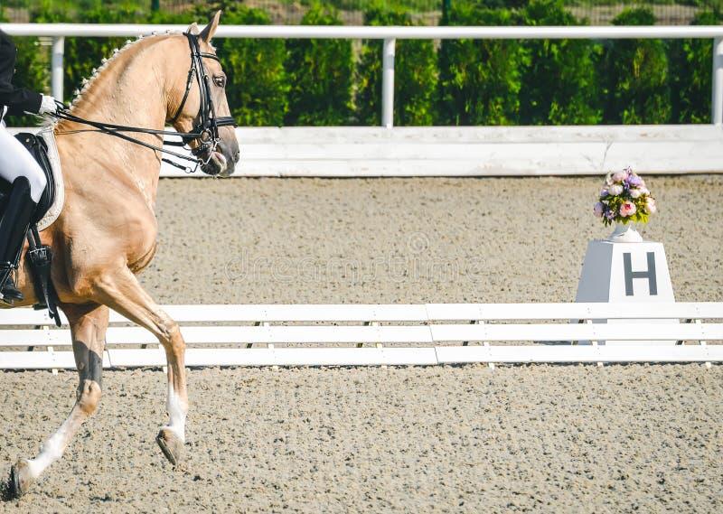 Donna del cavaliere e cavallo eleganti dell'acetosa Bella ragazza alla prova avanzata di dressage su concorrenza equestre fotografie stock