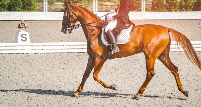 Donna del cavaliere e cavallo eleganti dell'acetosa Bella ragazza alla prova avanzata di dressage su concorrenza equestre immagine stock