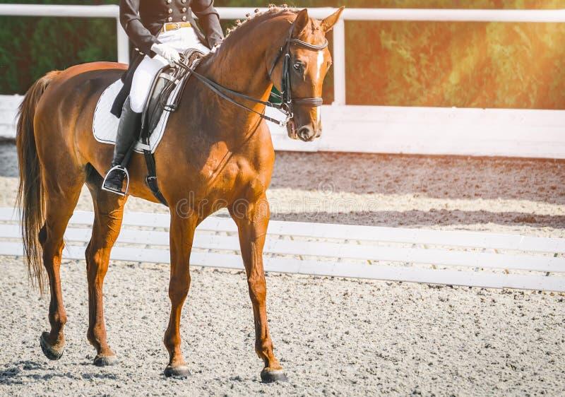 Donna del cavaliere e cavallo eleganti dell'acetosa Bella ragazza alla prova avanzata di dressage su concorrenza equestre fotografia stock