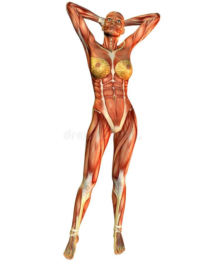 Donna del muscolo dalla parte anteriore illustrazione vettoriale
