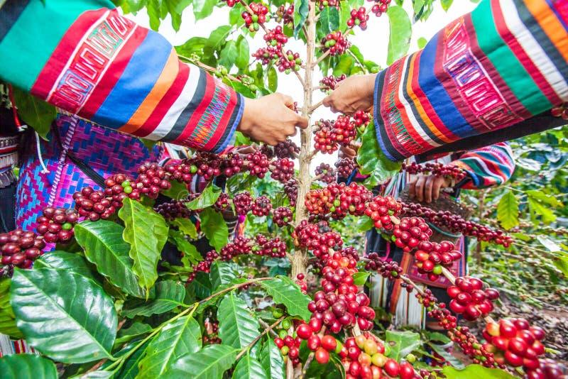 Donna dell'agricoltore di Akha della tribù che raccoglie le bacche di caffè Arabica in fotografia stock