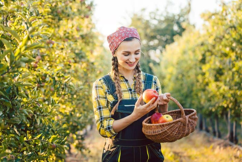 Donna dell'agricoltore di frutta che raccoglie le mele nel suo canestro immagine stock libera da diritti