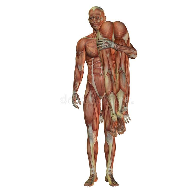 Donna di trasporto dell'uomo - muscolo umano illustrazione di stock