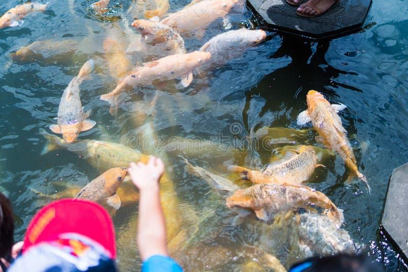 Donna e pesce colorato di alimentazione dei bambini bello in stagno Tempio di Taman Tirtagangga su Bali immagine stock