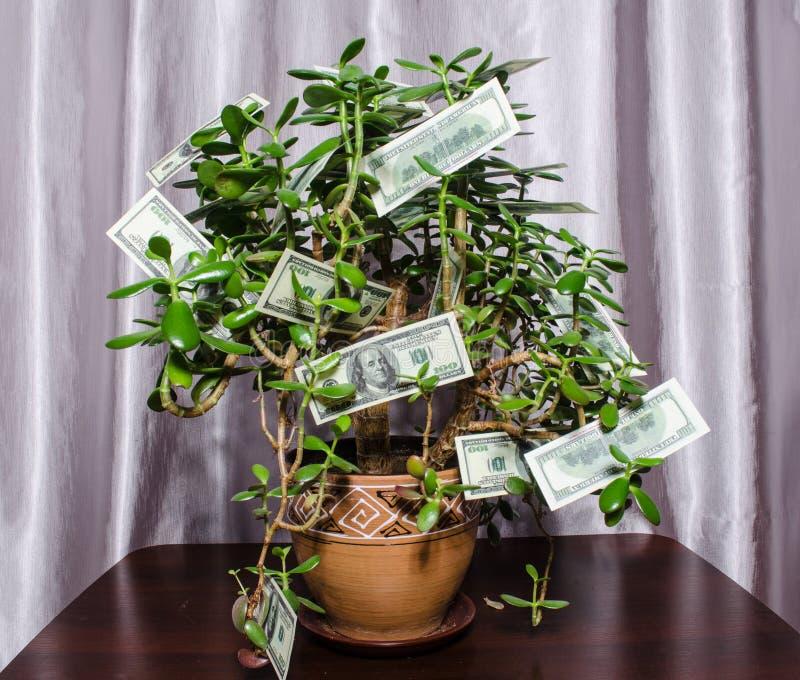 `` donna grassa del ` dell'albero dei soldi con le banconote in dollari sui rami fotografie stock