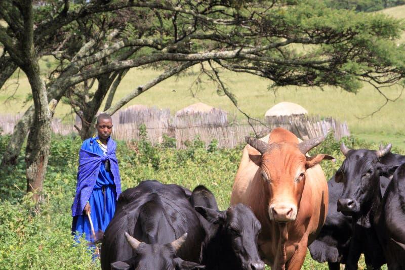Donna masai occuparsi del suo bestiame immagini stock libere da diritti