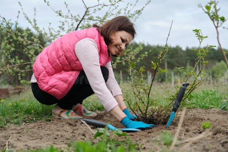 Donna matura in guanti che lavorano il suolo sotto il cespuglio di rose con gli strumenti di giardino, giardinaggio della molla fotografia stock libera da diritti