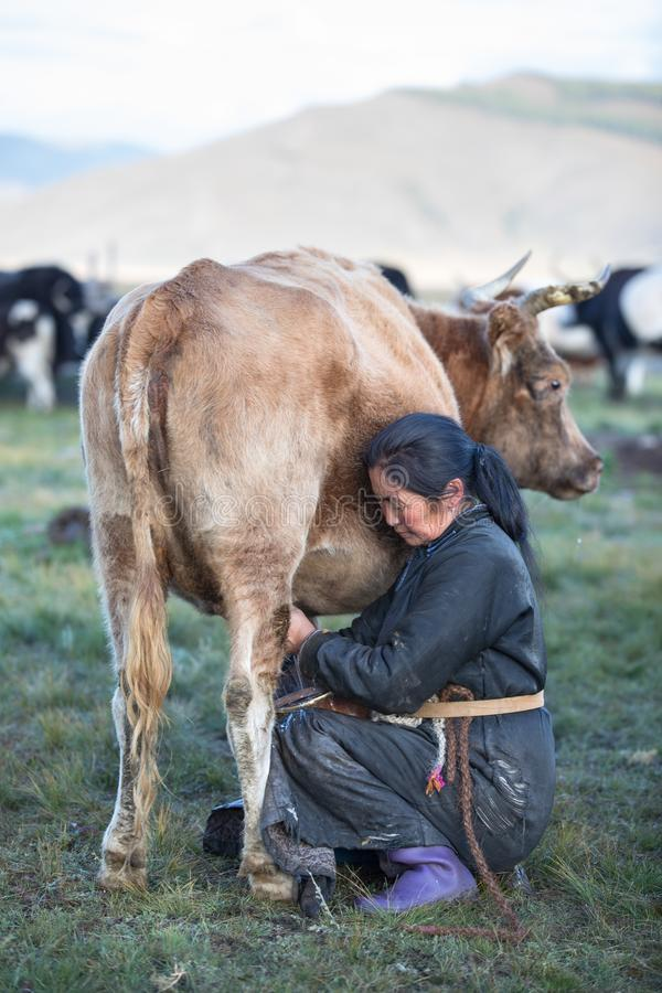 Donna mongola che munge una mucca in Mongolia del Nord fotografie stock