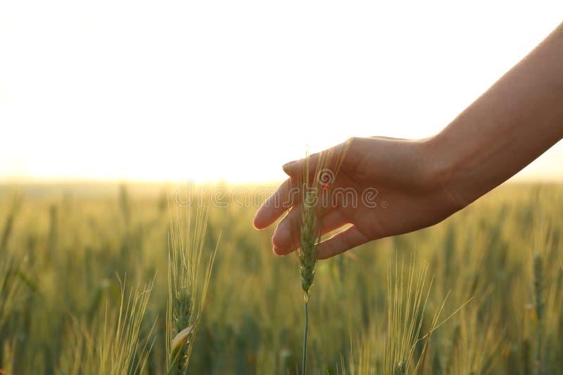 Donna nel giacimento di grano al tramonto Natura di stupore di estate fotografie stock