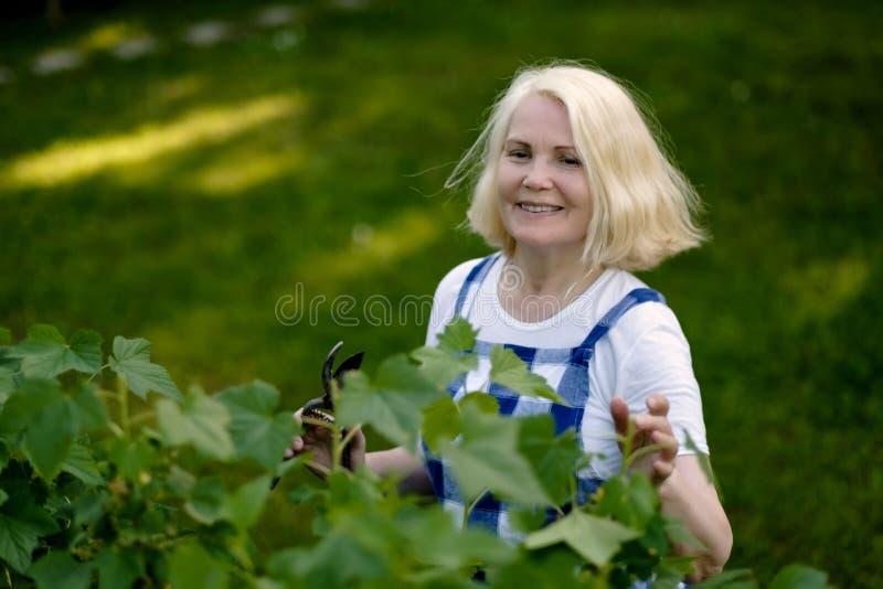 Donna pensionata sorridente che pota le foglie del ribes nero sulla sua iarda del giardino immagine stock libera da diritti