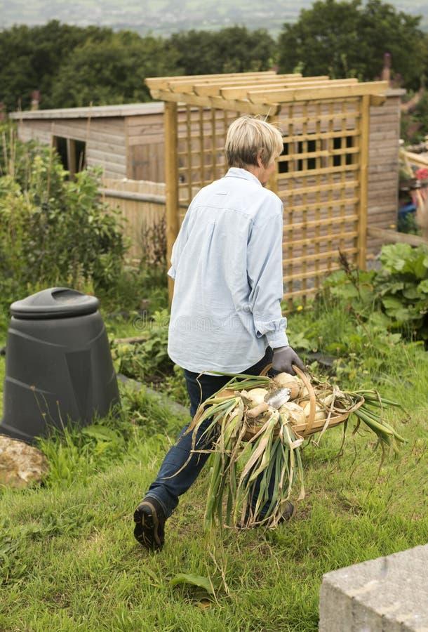 Donna senior che raccoglie le verdure dalla sua assegnazione del giardino immagine stock libera da diritti