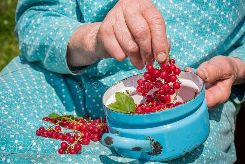 Download Donna Senior In Suoi Giardino E Ribes Nostrani Fotografia Stock - Immagine di retro, bio: 56885520