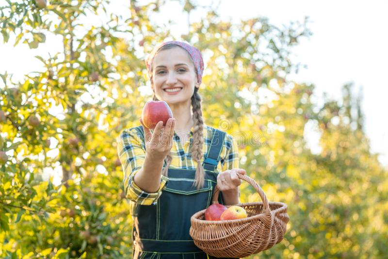 Donna sul frutteto di frutta che mostra mela nella macchina fotografica fotografie stock libere da diritti