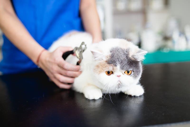 Donna veterinaria con il gatto immagine stock