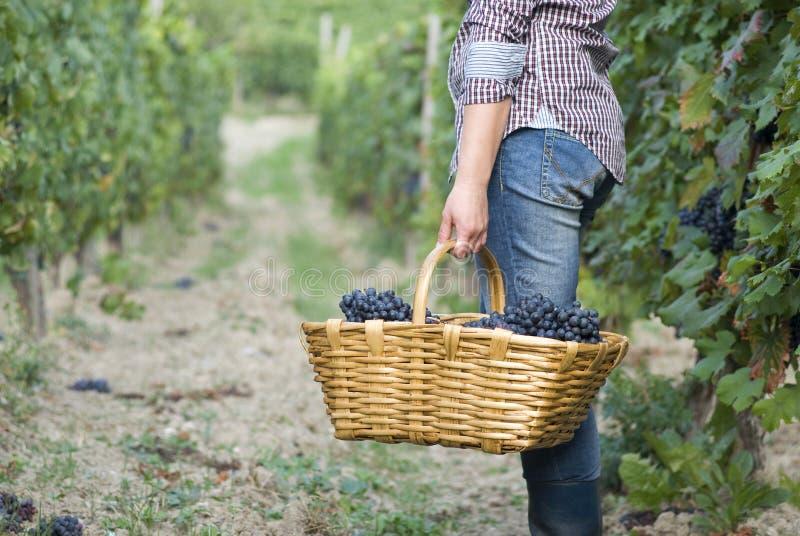Donna in vigna durante la stagione del raccolto immagine stock