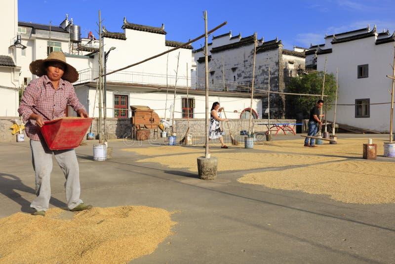 Donne rurali che portano riso appena raccolto, adobe rgb immagine stock
