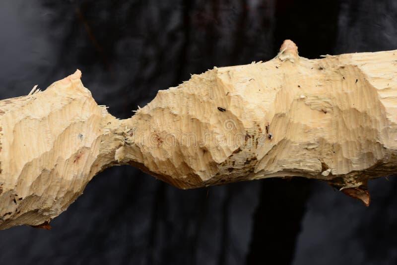 Donnez à l'arbre une consistance rugueuse rongé par des castors dans le sauvage au printemps sur la banque de la rivière de forêt photos stock