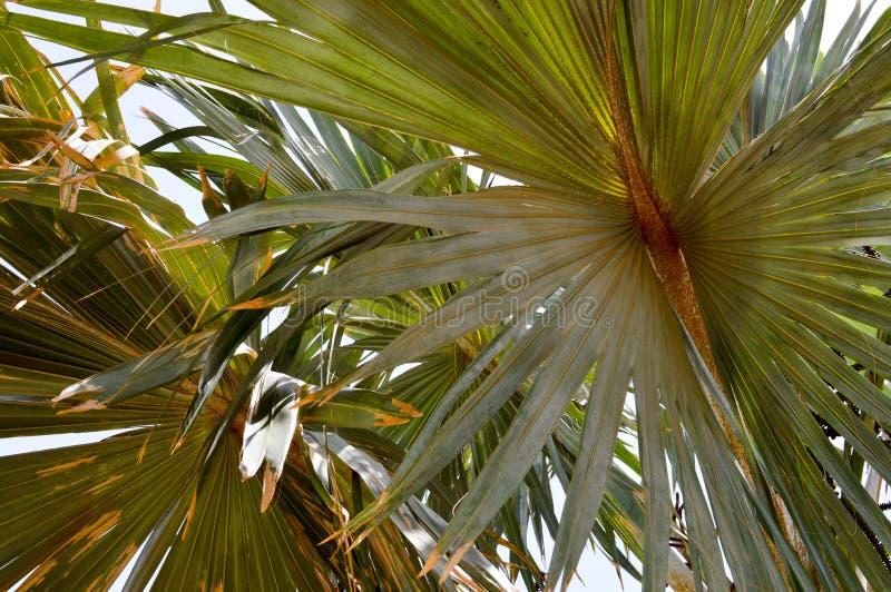 Donnez à vert une consistance rugueuse, usine naturelle pelucheuse de brun avec les feuilles comme une paume oblongues sous la lu photos stock