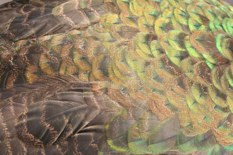 Donnez aux belles plumes une consistance rugueuse du paon photos stock
