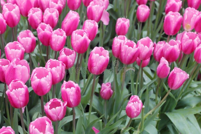 Donnez sur la tulipe rose image libre de droits