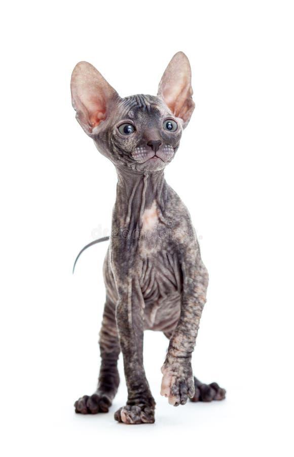 Donskoy-sphynx unbehaarte Katze lokalisiert lizenzfreie stockfotos