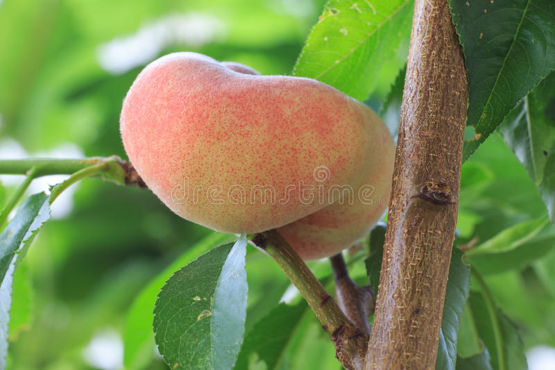 Donut peach at the tree. Yellow/red donut peach ripens at the tree royalty free stock photography
