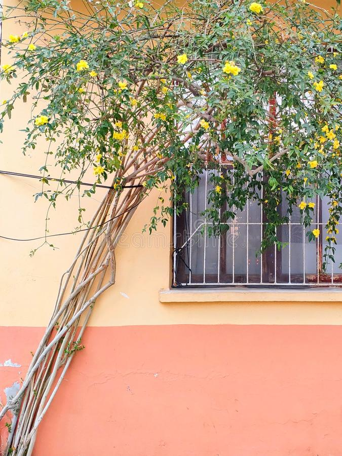 Many branched tree with green leaves and yellow beautiful flowers next against the background of the wall of the house with window. Donuts bagels sesame seeds royalty free stock image