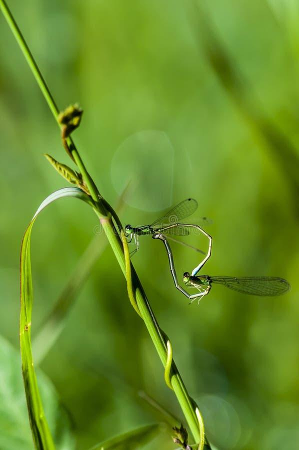 donzela-mosca foto de stock
