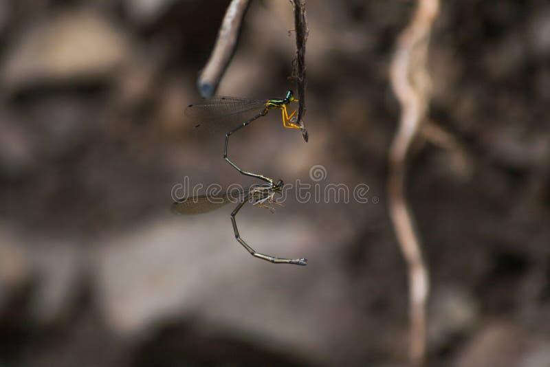 A donzela voa o acoplamento no galho fotos de stock