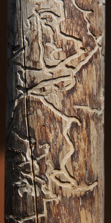 Dood die boomhout door door boring kever wordt gegeten stock afbeelding