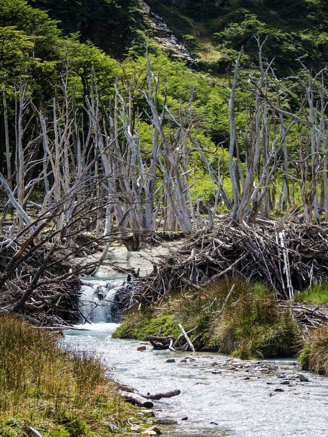 Dood die bos door bevers in Tierra del Fuego, Argentinië wordt veroorzaakt royalty-vrije stock foto's