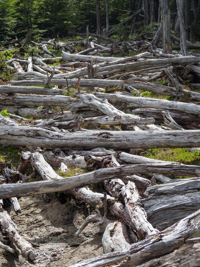 Dood die bos door bevers in Tierra del Fuego, Argentinië wordt veroorzaakt royalty-vrije stock afbeeldingen