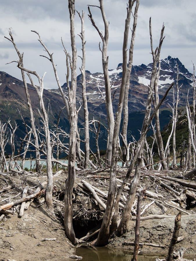 Dood die bos door bevers in Tierra del Fuego, Argentinië wordt veroorzaakt stock afbeeldingen