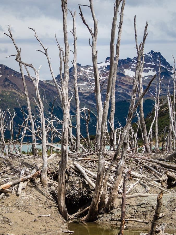 Dood die bos door bevers in Tierra del Fuego, Argentinië wordt veroorzaakt royalty-vrije stock foto