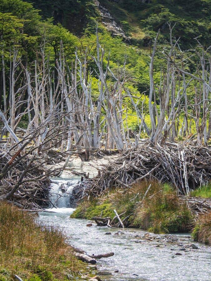 Dood die bos door bevers in Tierra del Fuego, Argentinië wordt veroorzaakt royalty-vrije stock afbeelding