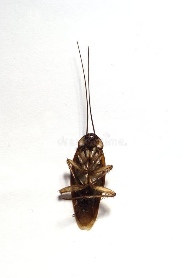 Dood die kakkerlakkengezicht - omhoog in wit wordt geïsoleerd stock fotografie