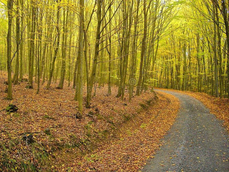 Doorbladert behandelde weg in het bos van beukbomen in de herfst/daling Het brede gebladerte van bladbomen in de herfst Ontspanne stock fotografie