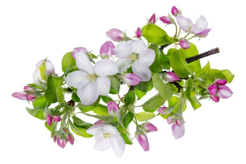 Doorboor appelboom isoleerde bloemenmacro royalty-vrije stock afbeelding