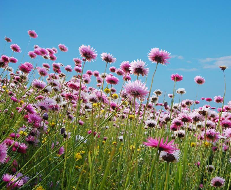Doorboor bloemen op een gebied stock foto