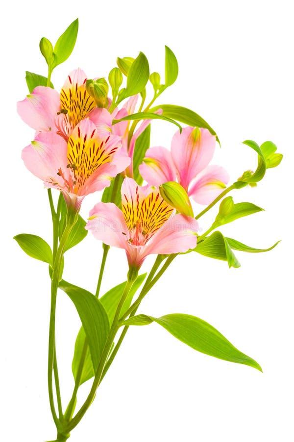 Doorboor bloemen op wit stock foto