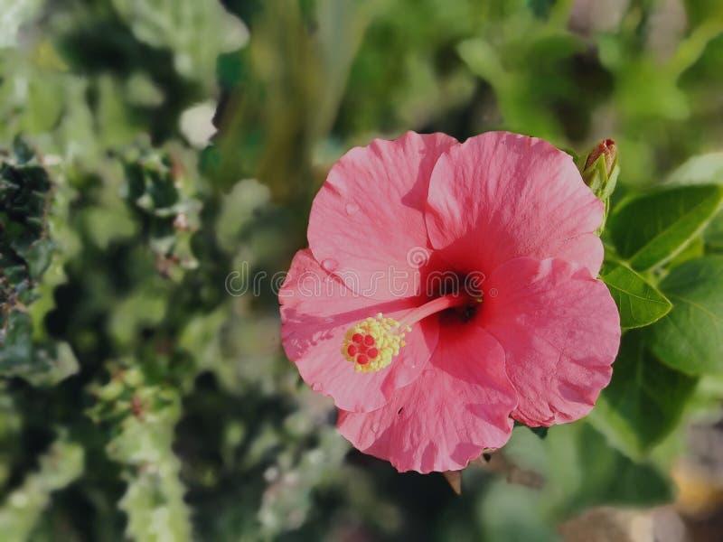 Doorboor de Bloem van de Hibiscus stock fotografie
