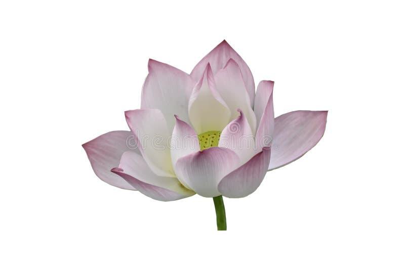 Doorboor lotusbloembloem op een witte achtergrond royalty-vrije stock afbeelding