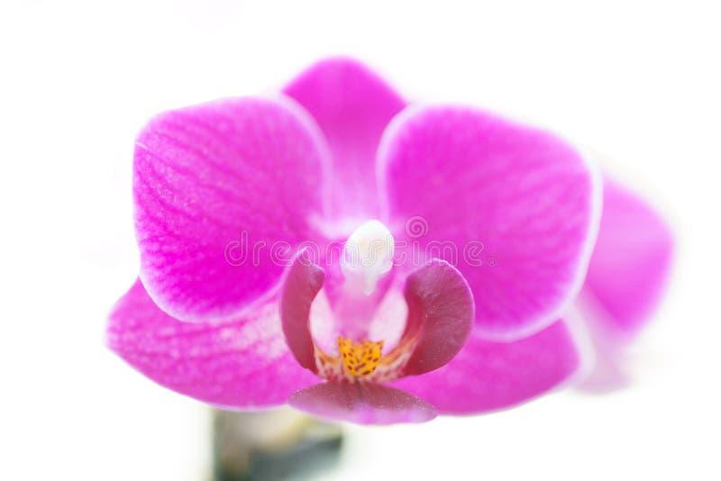 Doorboor orchidee stock foto's