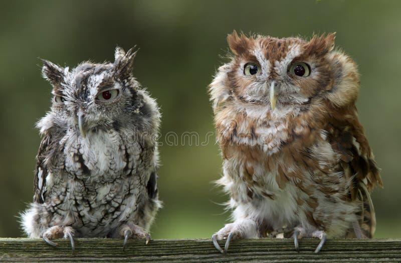 Doordringende kreet Owl Pair royalty-vrije stock foto
