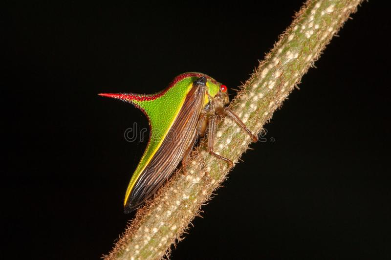 Doorn treehopper stock foto