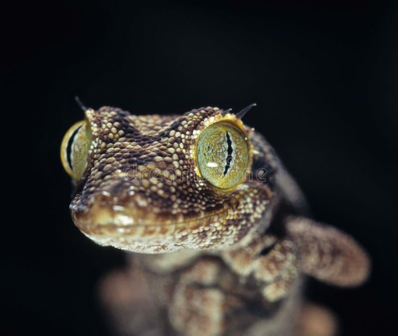 Doornig-de steel verwijderde van gekko royalty-vrije stock afbeelding